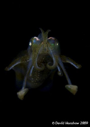 Portrait study of a Bigfin Reef Squid. Taken with D200 an... by David Henshaw