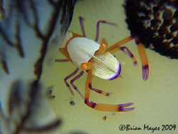 A tiny Imperial Shrimp (Periclimenes imperator) hiding un... by Brian Mayes