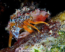 Crab taken on night dive off Buddy Reef in Bonaire by Lee Arbo