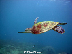 Had the pleasure of diving with this particular turtle fo... by Mike Dickson