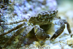Common crab by Vasilis Lekkas