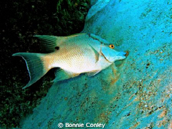 Hogfish seen in Grand Bahamas May 2009.  Photo taken with... by Bonnie Conley