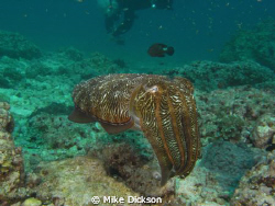 Cuttlefish taken at Fahal Island, Muscat, Oman by Mike Dickson