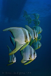 School of Batfish.  Ningaloo Reef, Western Australia.  Ca... by Ross Gudgeon
