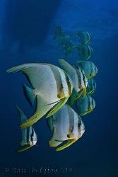 School of Batfish.  Ningaloo Reef, Western Australia.  Ca... by Ross Gudgeon
