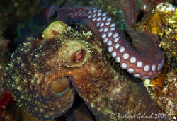 Octopus-night dive-Roatan 2009-Canon 100 mm macro by Richard Goluch