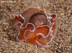 Bubble Shell on a night dive in Anilao.  Canon G10, dual ... by Stephen Holinski