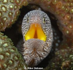 Starry / yellow mouthed moray (l: gymnothorax nudivomer) by Mike Dickson