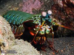 Smasher Mantis (Odontodactylus scyllarus) - Tulamben, Bal... by Marco Waagmeester