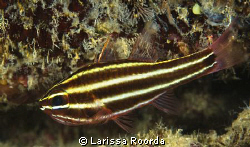 Cardinal fish.  The art of camouflage by Larissa Roorda