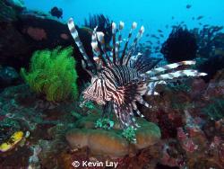 lion fish macro no strobe magic filter total novice. by Kevin Lay