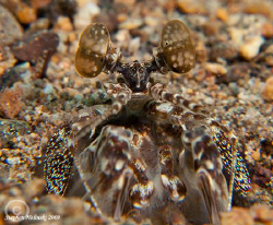 Mantis Shrimp in its burrow.  Canon G10, 2x Inon UCL165 c... by Stephen Holinski