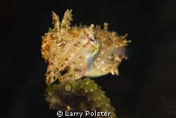 Pygmy Cuttlefish , Ambon Bay. D300-60mm by Larry Polster