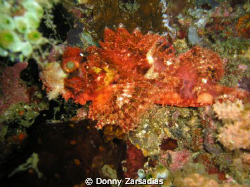 Used a very old 4MP Olympus Camera. Scorpion Fish taken a... by Donny Zarsadias