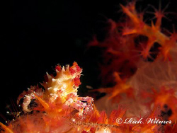 Candy Crab on the USAT Liberty Wreck in Tulamben, Bali.  ... by Richard Witmer