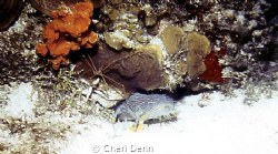 "Cozumel Toadfish and an Arrow Crab ""hidden"" in the coral ... by Cheri Denn"