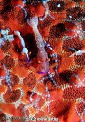 2 shrimps on a seastar, Nha Trang, Vietnam by Caroline Istas