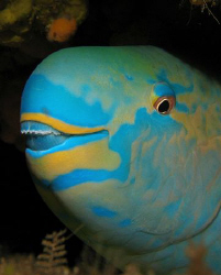 Parrotfish by Martin Dalsaso