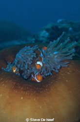 anemone and clownfish by Steve De Neef