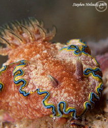 Big fat nudi in Anilao.  Canon G10, dual Inon UCL165, dua... by Stephen Holinski