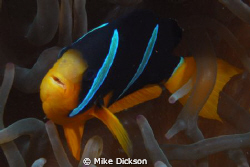 Will somebody believe me NOW when I say that clownfish ha... by Mike Dickson