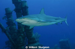 Caribbean Reef Shark Circling the Stacks on a Wreck by William Sturgeon