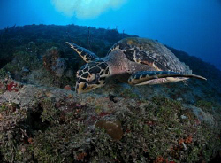 hawksbill turtle  in the Miss Opportunity wreck in St Tho... by Juan Torres