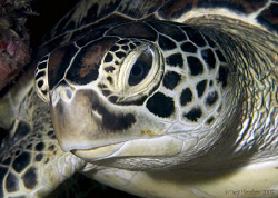 """Just Resting"" A snoozing Green Turtle, one of the many o... by Debi Henshaw"