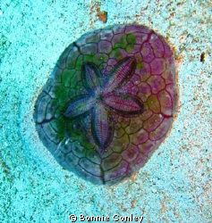 Photo of sand dollar seen in Grand Bahamas May 2009.  Can... by Bonnie Conley