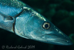 Barracuda-Canon 5D 100 mm macro no cropping-Bonaire 2009 by Richard Goluch