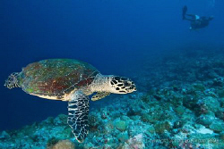 Turtle swimming by with the dive guide in the background ... by Jonathan Regan