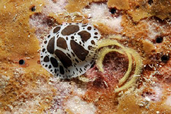 Nudi laying eggs by Andy Kutsch