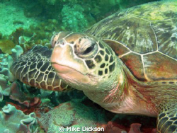 One of the many turtles around Plug Point at Bandar Khayr... by Mike Dickson