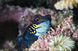 a suspicious mandarine fish ,nikond2x 105 mm macro by Puddu Massimo