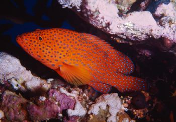 Cernia Tropicale - Panorama Reef (Red Sea) by Giorgio Puppi
