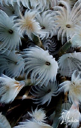 This image is of Social Feather Dusters taken during a di... by Steven Anderson