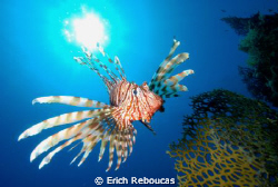 Red Sea Lionfish. A lot of body twisting to put the sun ... by Erich Reboucas