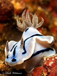 This one looks like a puppy :) Chromodoris willani in Ani... by Richard Witmer