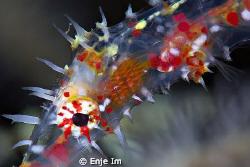 Ghost Pipefish closeup by Enje Im