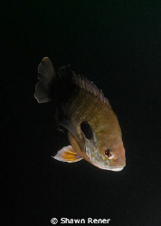 Bluegill Perch (Lepomis macrochirus) - Clear Springs Scub... by Shawn Rener
