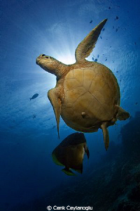 Hawksbill turtle and a batfish. 