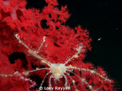 Spider Crab at night by Loay Rayyan