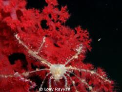 Spider Crab at night by Loay Rayyan