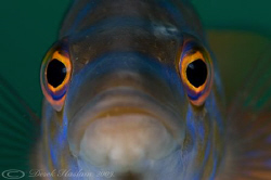 Male Cuckoo wrasse. Plymouth. D3, 60mm. by Derek Haslam