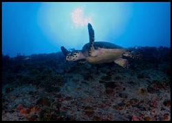 Hawksbill turtle in Miss Opportunity wreck. by Juan Torres