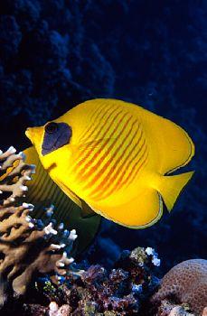 Pesce Farfalla - Panorama Reef (Red Sea) by Giorgio Puppi