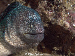 Starry yellow mouthed moray (l: gymnothorax nudivomer).