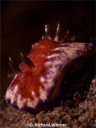 Beautiful Nudi on a night dive in Anilao.  Species?  G9/D... by Richard Witmer