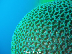 Brain Coral by Loay Rayyan