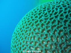Brain Coral by Loay Rayyan